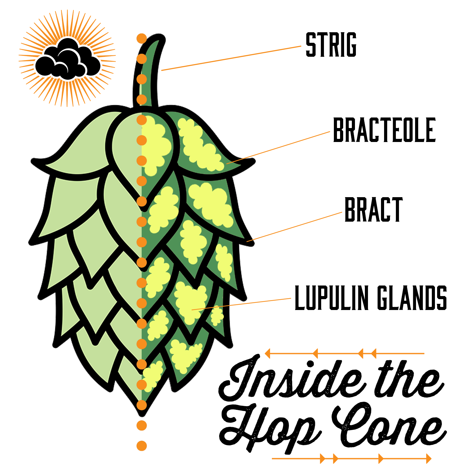 A diagram showing the inside anatomy of a hop cone, labeling the different parts - string, bracteole, bract, and lupulin glands.